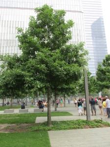 Oak Tree, Maturing